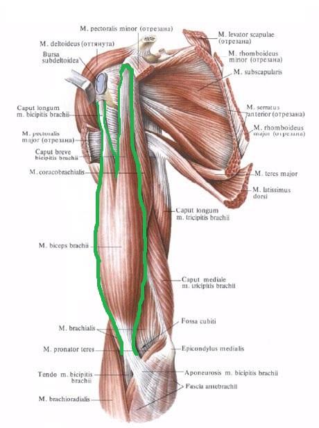 anatomia_bicepsa