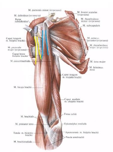 anatomia_bicepsa1
