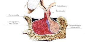 fiziologia_gipofiza