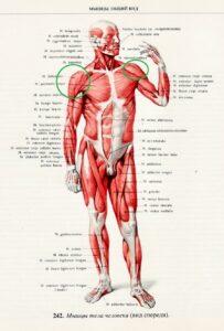muscle_man