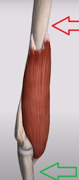 plechevaya_myshca_anatomia1