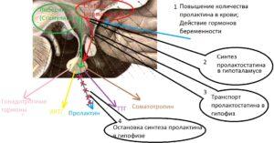 prolaktin_fiziologia