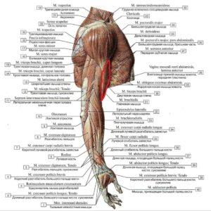 topografia_bicepsa