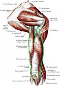 triceps_anatomia
