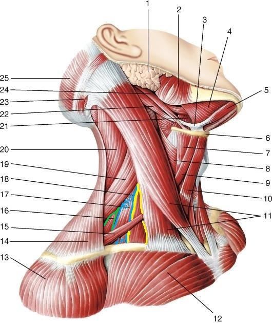 anatomia_zadnej_lestnichnoj_myshcy