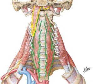 dlinnaya_myshca_golovy_anatomia