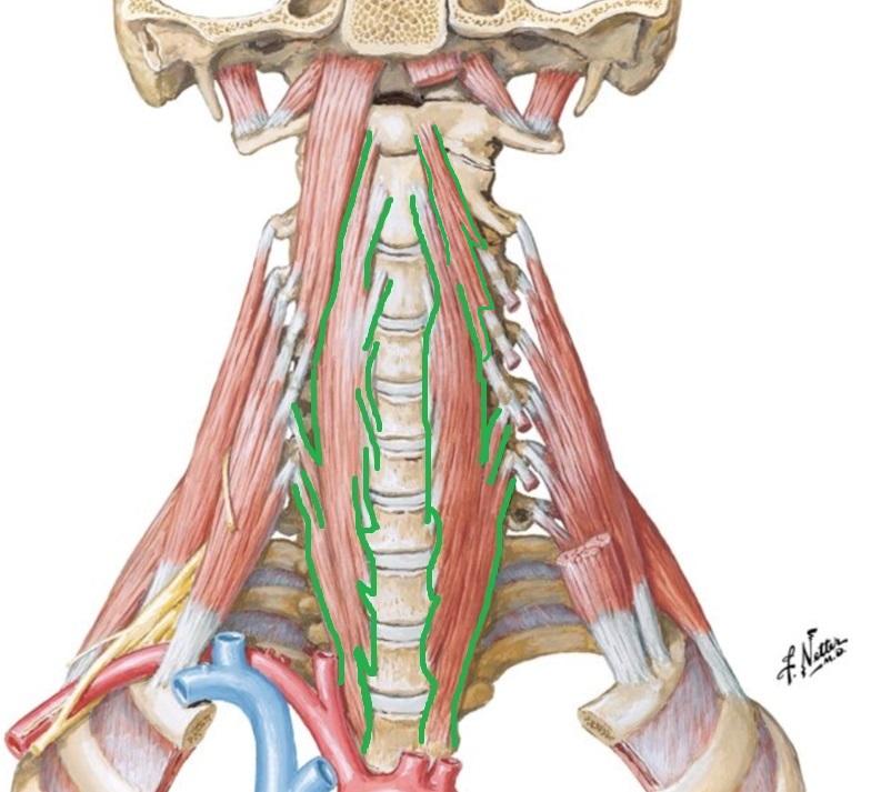 dlinnye_myshcy_shei_anatomia18