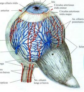 fibroznaya_obolochka_anatomia