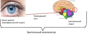 zritelnyj_analizator1