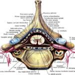 Анатомия спинного мозга, часть 1