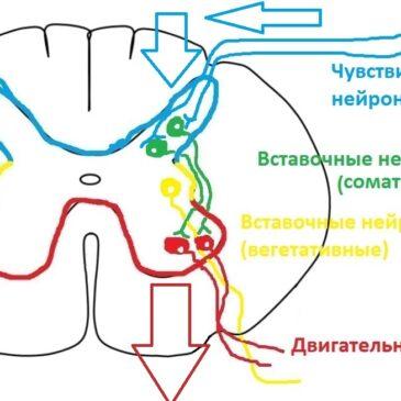 Анатомия спинного мозга, часть 2