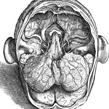 Анатомия продолговатого мозга