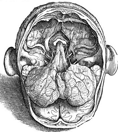 anatomia_prodolgovatogo_mozga