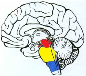 anatomia_mezencephalona