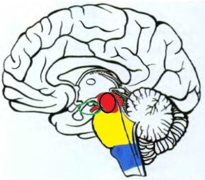 topographia_srednego_mozga