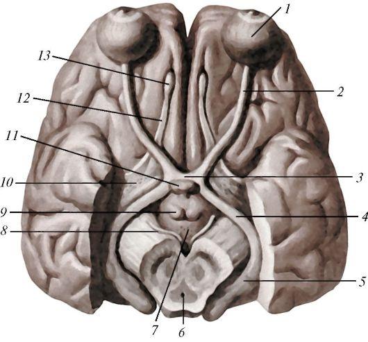 anatomia_hypothalamusa