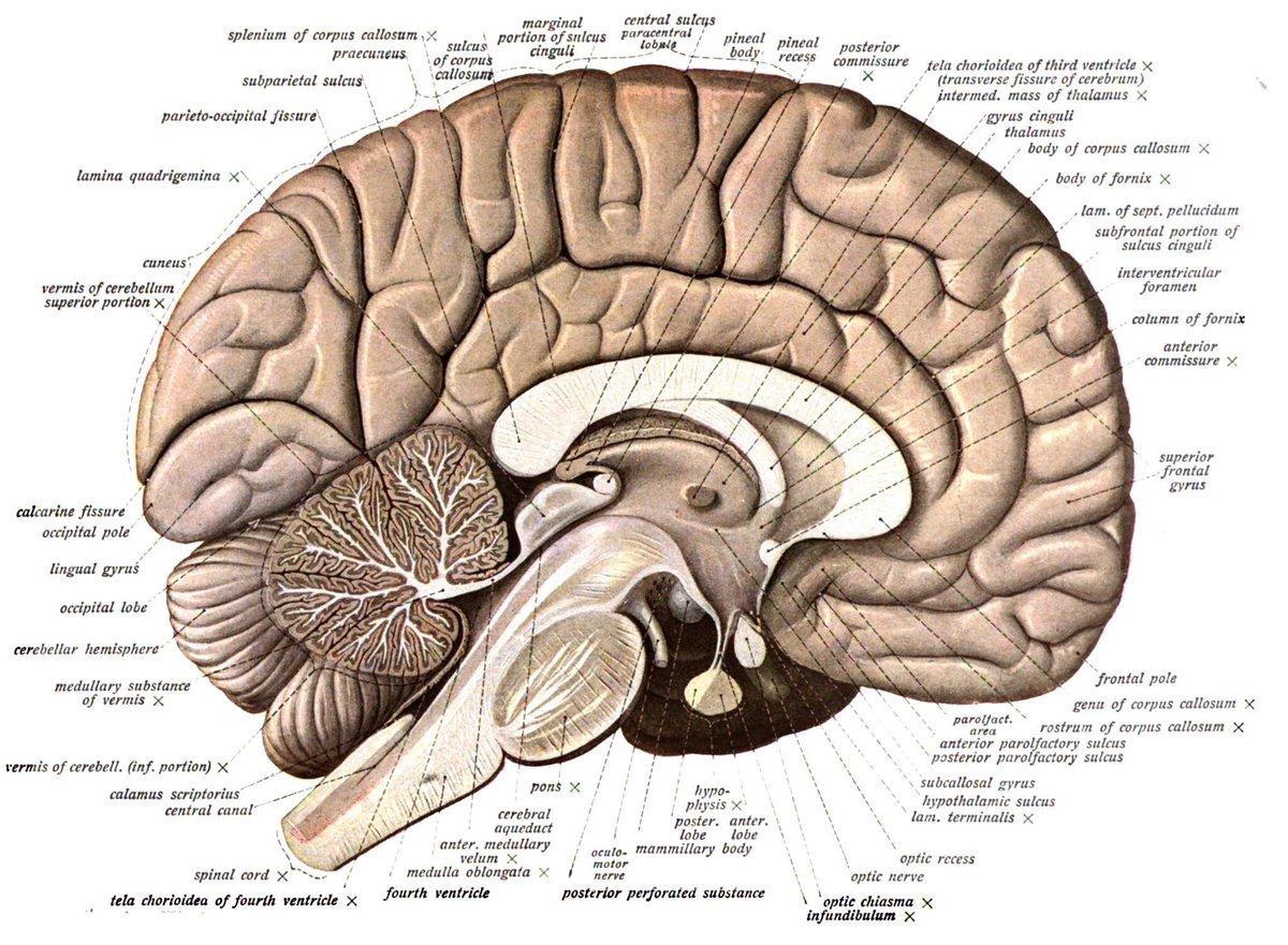 anatomia_mozga
