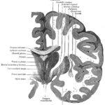 Анатомия промежуточного мозга, часть 2
