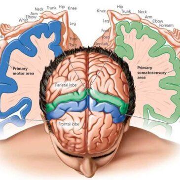 Анатомия конечного мозга, часть 2