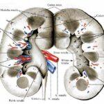 Анатомия почки
