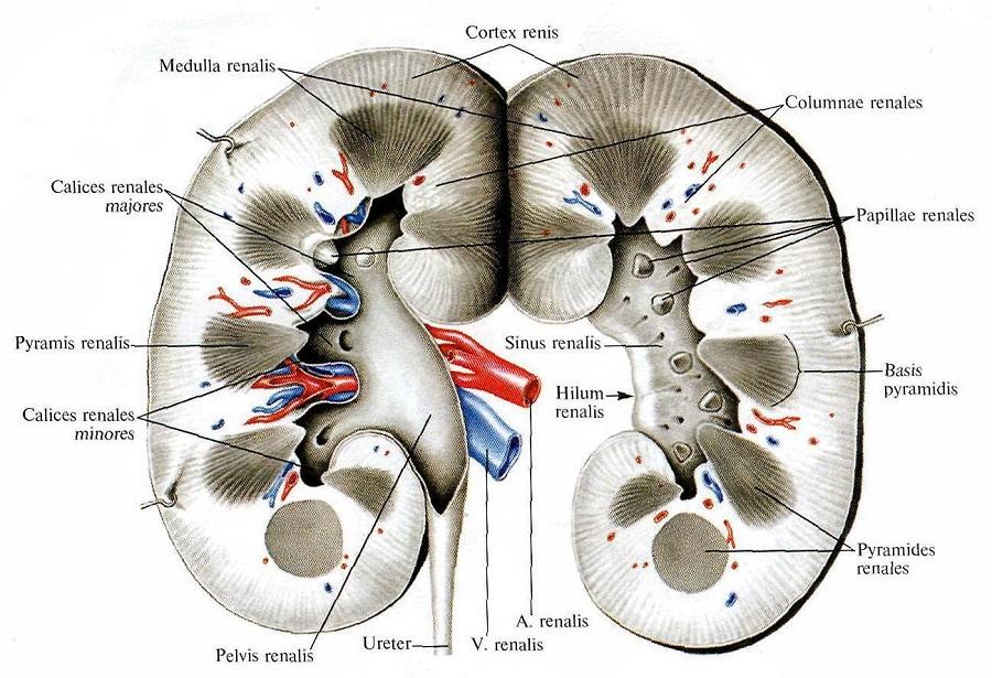 anatomia_i_fiziologia_pochki_