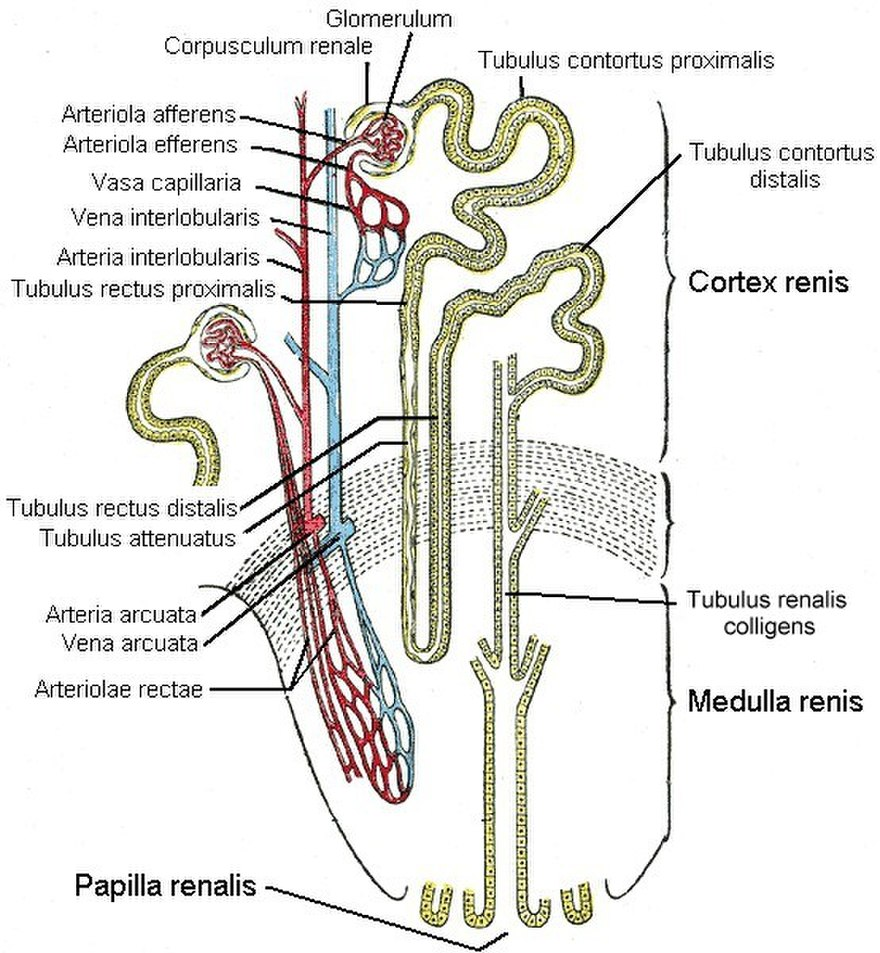 anatomia_nefrona