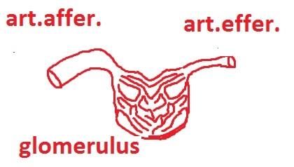 anatomia_nefrona_legko