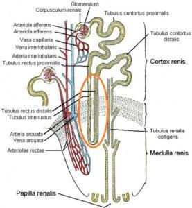 petlya_genle_v_anatomii