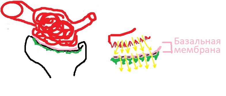 bazalnaya_membrana_fiziologia