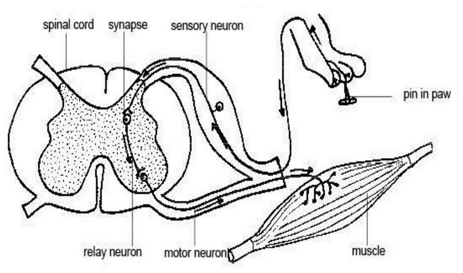 fiziologia_v_mede
